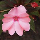 Pink Impatiens by Linda  Makiej
