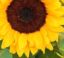 Sunflower by Paula Bielnicka