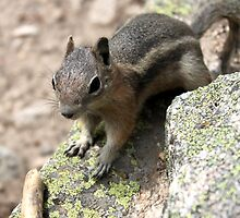 Rocky Mountain Squirrel by Beekums