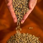 Raw Coffee beans pouring out of hands by DavidMay