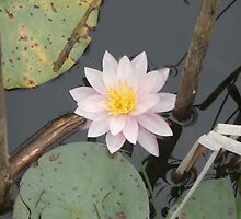 Water Lily by schwaes
