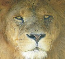 Lion Portrait, The king of the Jungle by himmstudios