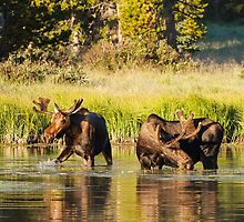 Two Moose by Gary Gray