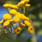 Yellow Tansy by Linda  Makiej Photography
