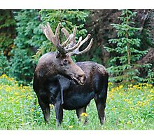 Moose in Wildflowers Photographic Print