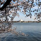 Cherry trees and Jefferson Memorial by Kelly Morris