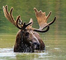 Wild Moose in Colorado by Gary Gray