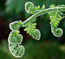 Unfurling fern by Celeste Mookherjee