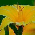 Yellow Daylily  by Carolyn Clark