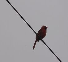Red Cardinal on a Wire by TScottAdams