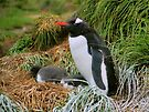 Gentoo Penguins on the Nest by Carole-Anne