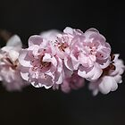 Soft As Spring by Joy Watson