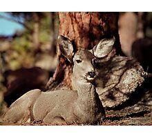 Mule Deer Doe Photographic Print