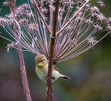 Young Willow Warbler sitting amongst Cow Parsley by Violaman
