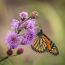 Foggy Morning Monarch by Thomas Young