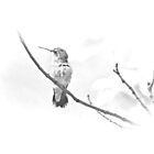 Ruby-throated Hummingbird - Immature Female - Black and White - Archilochus colubris  by MotherNature2