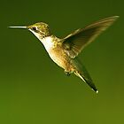 Female Hummer Up Close In Flight by imagetj