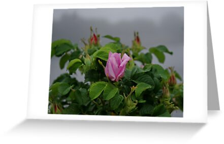 Rose at Dawn by Barry Doherty