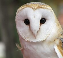Curious Barn Owl  by hummingbirds