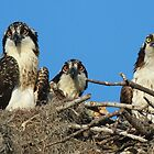 Osprey Family Photo by jozi1