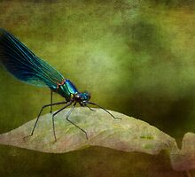Banded demoiselle   by chris2766