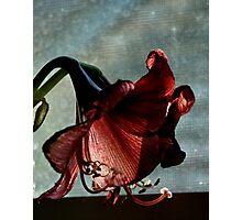 Faded Amaryllis Photographic Print