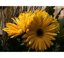 Three Sunshine Yellow Gerbera Daisies Photographic Print