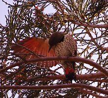 Flicker preening wing by Krissa Klein