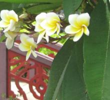 Plumeria Exotique Sticker