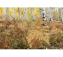 Ferns and Aspens Photographic Print