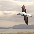 Toroa or Royal Albatross by Yukondick
