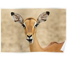 Impala Fun - Wildlife Humor from Africa.  Poster