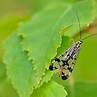 Scorpion Fly by relayer51