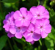 Phlox Just Opened by Kathleen Brant