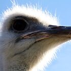 The Ostrich That Bit My Lens by Asoka