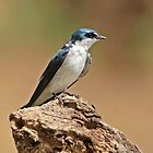 Mangrove Swallow on Stump by hummingbirds