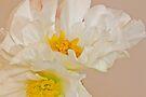 White Begonia Ruffles  by Sandra Foster