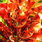 Croton Colours by Penny Smith