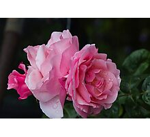 rose in the garden Photographic Print