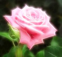 Pink Roses in Anzures 3 Angelic by Christopher Johnson
