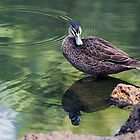 Pacific Black Duck by mncphotography