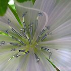 Chicory Flower by MarianBendeth