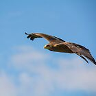 Yellow-billed Kite by M.S. Photography/Art