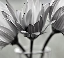 Daisies by gmws