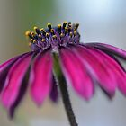 African Daisy by Glenda Williams