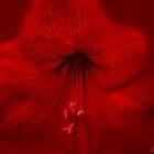 Scarlet Hibiscus by wallarooimages
