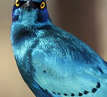 Greater Blue -Eared Starling ! by jozi1