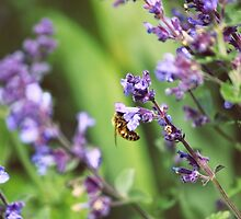 Bee on Lavender by Vicki Field