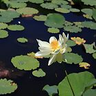 Lotus Pond by Fledermaus
