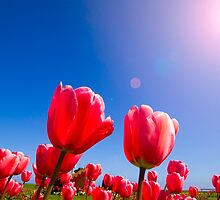 tulips in the sun by dragon2259